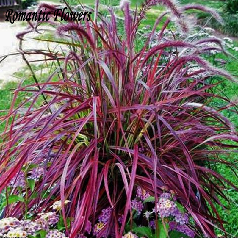 Half hardy perennial fountain grass pennisetum setaceum for Hardy ornamental grasses