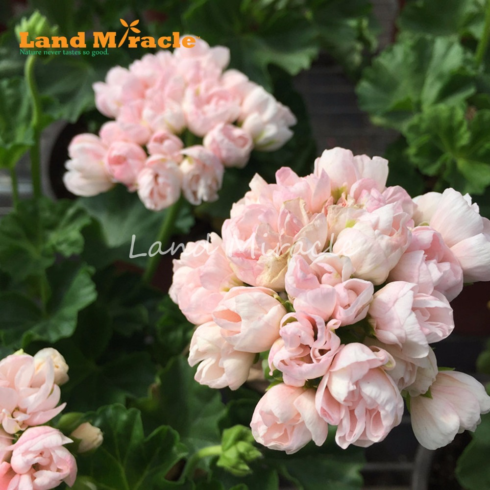 LAND MIRACLE 5PCS Light Pink Tulip Rose Geranium Seeds, Perennial Flower Seeds Pelargonium Peltatum Bonsai for Indoor Rooms