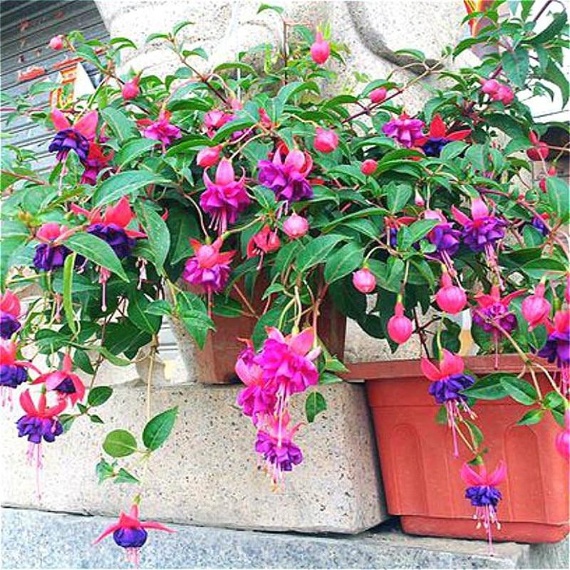 Бонсай для балкона шт. фуксия 200 фонари цветы Бегония яблоня карликовые деревья китайское цветение декоративные цветочные растения