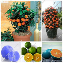 Indoor Bonsai Mini Orange Tree Seeds Organic Fruit Tree Seeds For Flower Pot Planters Delicious Rounded Edges Fruit 40 Pcs / bag