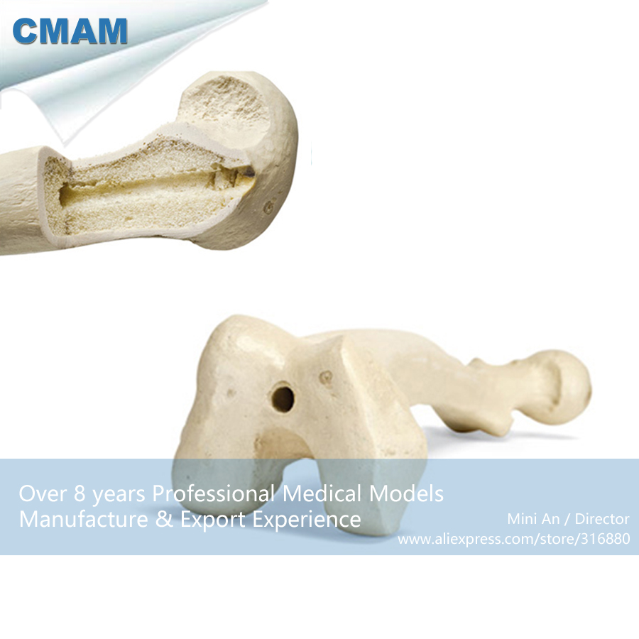 12318 CMAM-TF07 Solid Foam Normal Anatomy Femur with Medullary Cavity, Medical Science Educational Teaching Anatomical Models cmam a29 clinical anatomy model of cat medical science educational teaching anatomical models