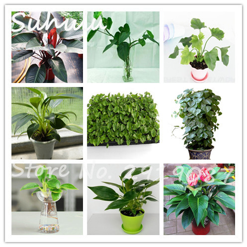 100 Genuine Rare 100seeds Bag Mix Beautiful Philodendron