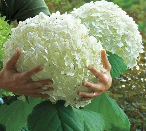 20 stk hortensia bonsai planter, indendørs blomster, potteplanter, alle slags blomster, nem havearbejde dekorationer.