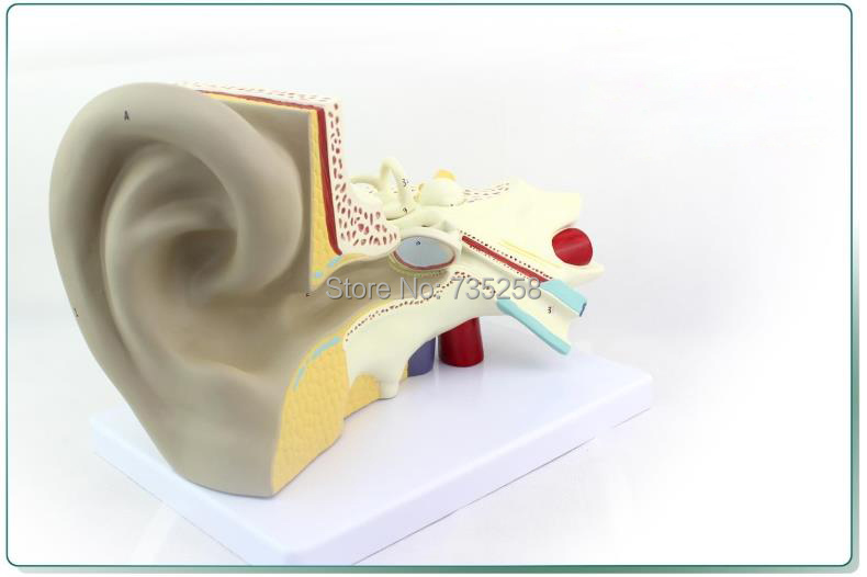 Ear Anatomic Structure Model,6 Parts Decomposition Model of the Ear,Ear Anatomy Model english structure