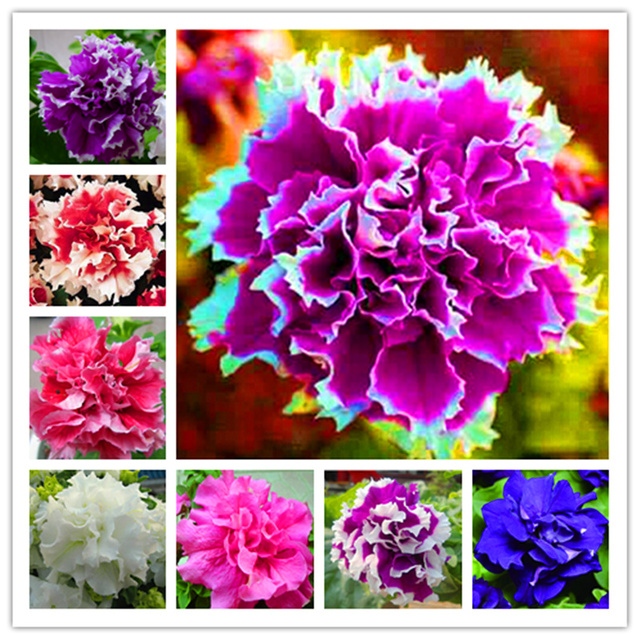 Petunia Seeds, Rainbow Colorful Options, 100pcs/pack