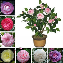 100 / Pack Camellia , Flower bonsai Tree , Diy Potted Plants, Indoor / Outdoor Pot Family easy to plant Plants(China)