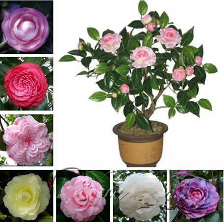 100/pacote camélia, flor bonsai árvore, diy vasos de plantas, interior/exterior pote família fácil de plantar plantas