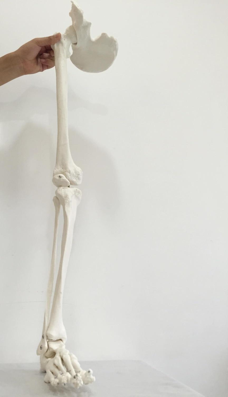 Freies verschiffen & 1:1 untere extremität knochen modell, knöchel ...