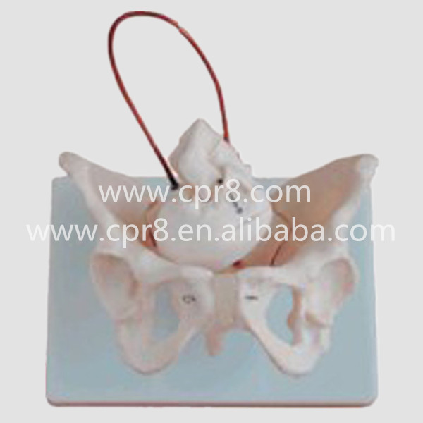 BIX-A1026 Woman Pelvis Model And Fetal Skull And Midwifery Bone Model MQ096 hot midwifery teaching model birth demonstration model pelvis with fetal head skull model