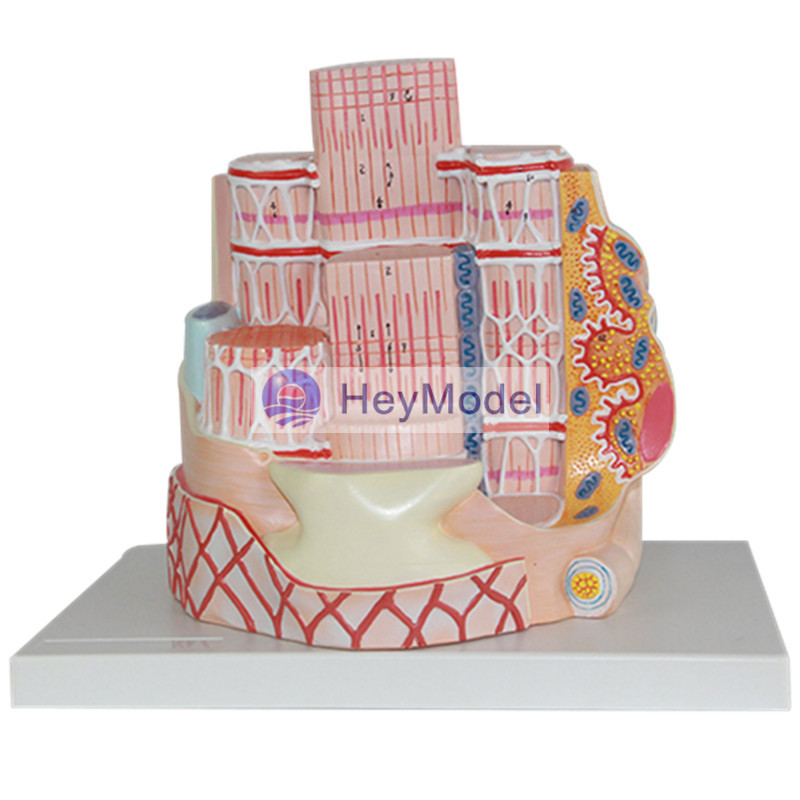 Heymodel Skeletal Muscle Model кроссовки pinko pinko pi754awoif57 page 9