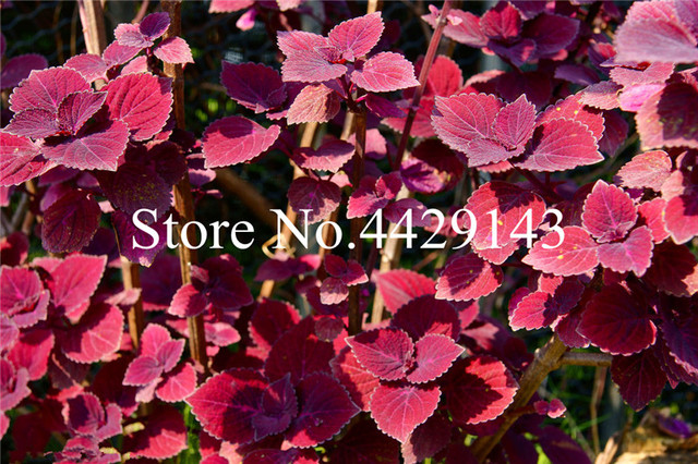 200 pz di Basilico dolce ocimum basilicum verdura fragrante per la casa giardino piantare piante Medicinali e aromatiche facile da Coltivare