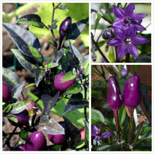 "20 Seeds Ornamental Pepper  ""Explosive Ember"" The Brightest Edible Ornamental"