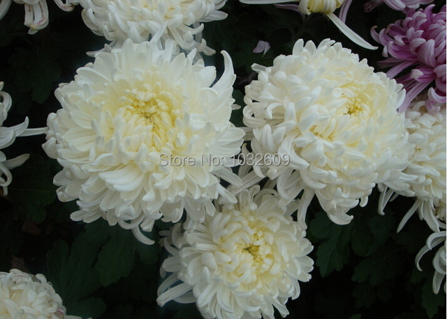 Herbaceous plant white chrysanthemum seeds 500pcslot mum flower herbaceous plant white chrysanthemum seeds 500pcslot mum flower seeds bonsai sementes de flores for mightylinksfo Choice Image