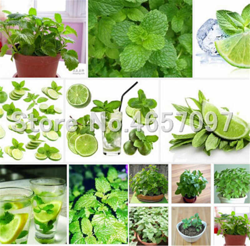 Mint potted herb edible Plants in bonsai or pot Organic Plantas vegetable for home and garden 300pcs Perennial Non-GMO Plant Pot