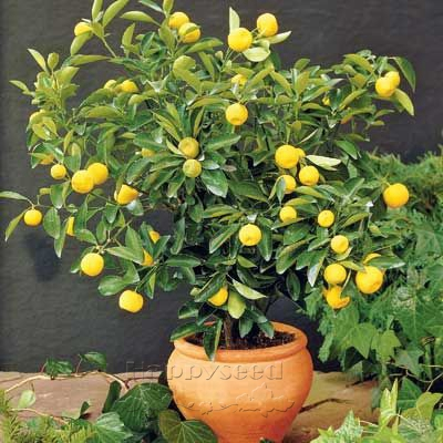 Perfect 20 Dwarf Lemon fruits Tree Bonsai Seeds Natural potted ...