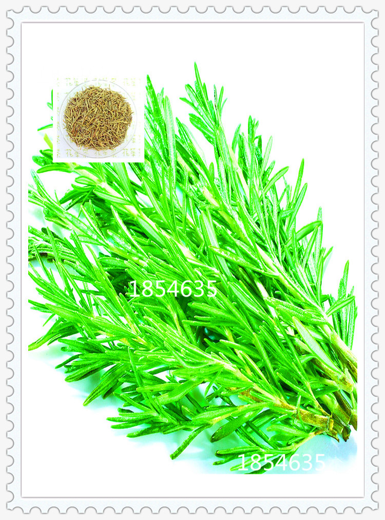 200 rosemary seeds diy garden plant easy to grow herb for Easy to grow outdoor plants