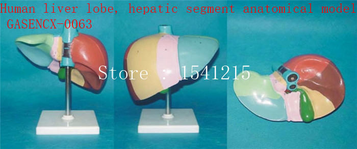 Genital anatomy model Medical human specimens Human liver lobe, hepatic segment anatomical model - GASENCX-0063 human anatomical male genital urinary pelvic system dissect medical organ model school hospital