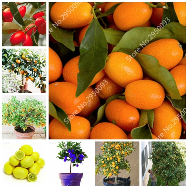1 borsa = 50 pz Caldo Kumquat Bonsai Arancione Balcone Patio In Vaso Delizioso F