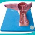 Weibliche Innere Genital Orgel Modell