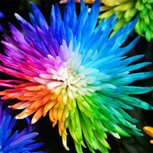50  Water Color Daisy Seeds Lovely rainbow watercolor daisies 100% Natural Dream of flower