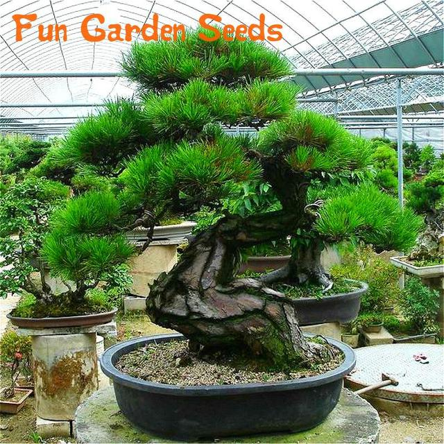 Hot Selling 30pcs Pine Tree Seeds Pinus Thunbergii Seeds Bonsai Seeds  Potted Landscape Garden Winter Ornamental