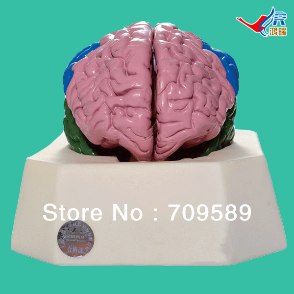 ISO Deluxe Brain Lobe Model, Brain Anatomical Model new loom computer touch screen 154 105 mm as shown in figure