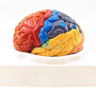 2 partie couleur cerveau humain fonction domaine anatomie modèle anatomique médical artificiel Cortex cérébral enseignement
