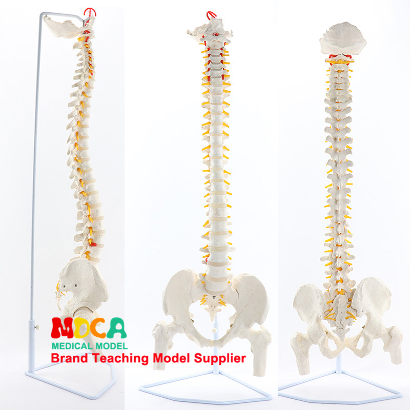 85CM Hanging White Spine Belt Femur Massage Beauty Body Spine Model Medical Teaching MJZ202