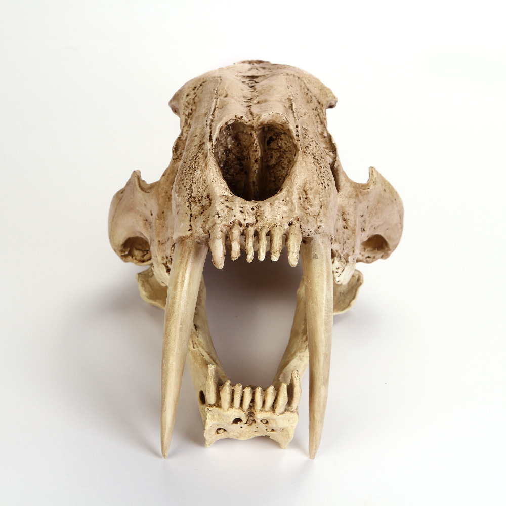 Crafts Saber-Toothed Tiger Skull Model White Medical Sketch Model For Collection Handmad ...