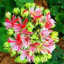 Best-Selling!100pcs/Bag True Geranium Seeds Bonsai Cheap Pelargonium Perennial Garden Flowers Peltatum Seeds Potted Geraniums Fo