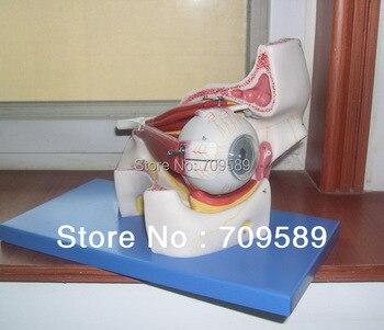 ISO Deluxe Eyeball with part of Orbit Model,  Anatomical Eye Model