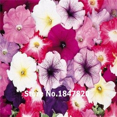 GGG 100pcs Seeds Petunia flower Seeds + SECRET GIFTS, pot flower plant bonsai, DIY home garden, free shipping