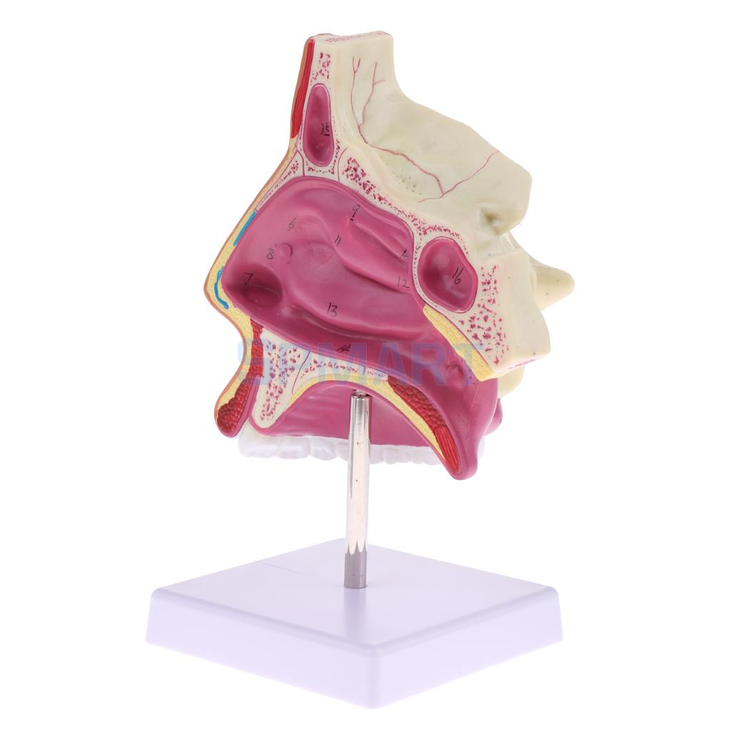 1:1 Setion Human Nasal Cavity Nasal Bone and Cartilage Anatomy Study ...
