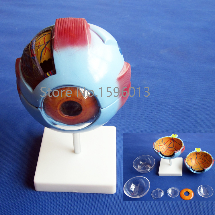 Vivid Human Giant Eye Model, Eyeball structure model,Eyeball Anatomical Model vivid anatomical skin block model enlarged skin section model human skin model