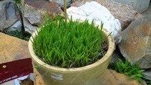 50 pcs/bag Cat wheat seeds A kind of Cat grass seeds orangic grain cereals cropper plants perennial herb for home garden