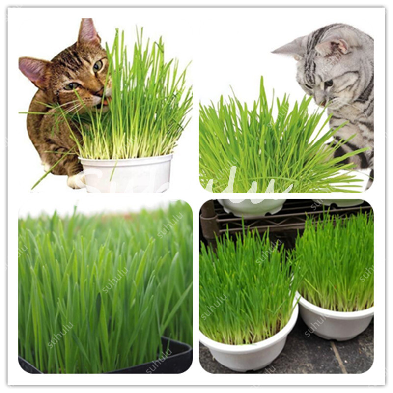 Promotion!1000 Pcs Cat Grass Bonsai Herb Edible Foliage Plant Wheat Grass Mint Smell Superior Cat Food For Your Pet Easy To Grow