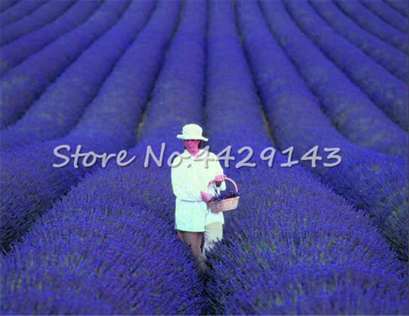 100 pçs/saco Bonsais Francês Provence Lavanda Romântico Perfumado de Lavanda Orgânica Bonsais Flor Planta Jardim Ornamental Bonsai