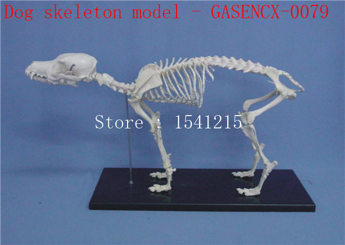 Animal skeleton model Animal Anatomy Model Veterinary specimens Dog skull bone Skeleton model Dog skeleton model - GASENCX-0079 shunzaor dog ear lesion anatomical model animal model animal veterinary science medical teaching aids medical research model