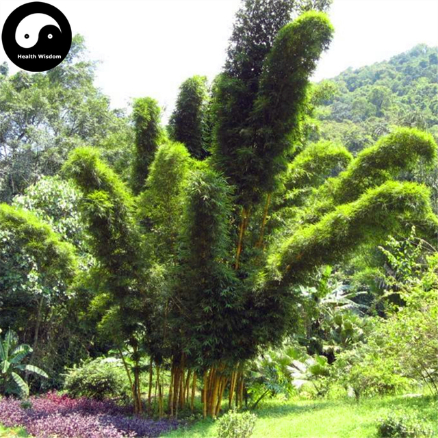 Buy Fernleaf Bamboo Tree Semente 30pcs Plant Chinese Bamboo For