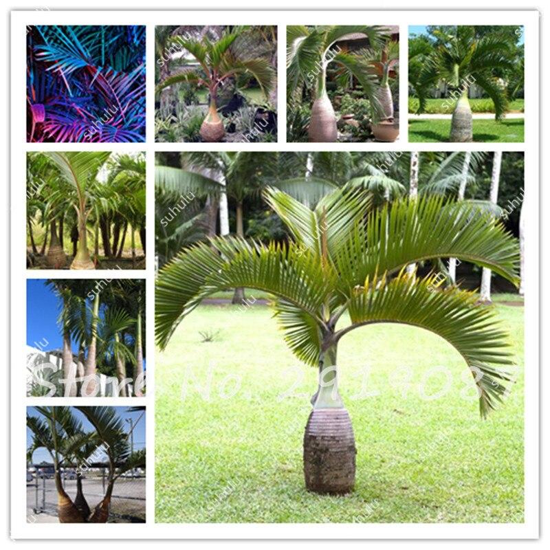 unids botella palmera semillas exticas plantas bonsai rbol tropical flor ornamental planta perenne jardn decoracin de alt