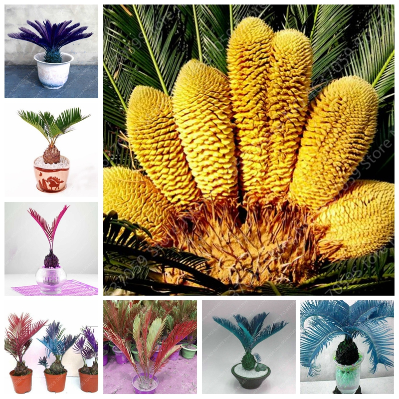 5 pcs/ bag Mul-color Cycas Plant Outdoor Bonsai Sago Palm Tree Rare Potted Plant for Home Garden Flower Pot Planters Easy Grow vacation