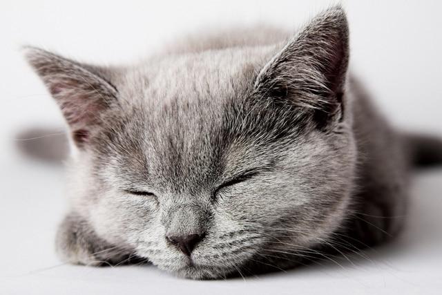 Leuke Posters Woonkamer : Slaperig grijs kitten leuke mooie kat animal kb woonkamer thuis