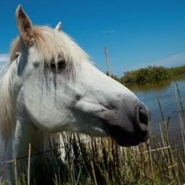 White Camargue horse with head over fence  Camargue  Saintes-Maries-De-La-Mer  Provence-Alpes-Cote d'Azur  France Print