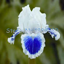 White flower blue center promotion shop for promotional white flower 50pcs delicate blue and white mixed japanese iris blue flowers seeds diy home garden easy to survive mightylinksfo