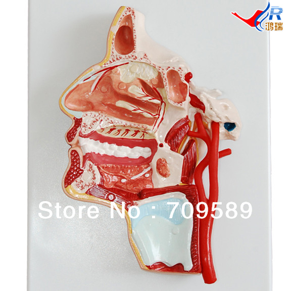 ISO Human Head Model, Anatomical Head Model human larynx model advanced anatomical larynx model