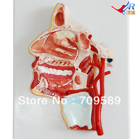 Human Head Model Anatomical Head Model