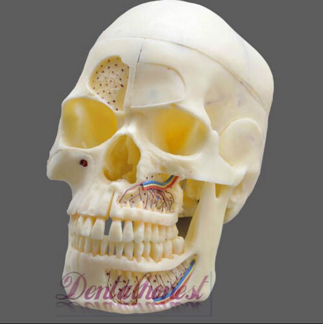 Dentalmall Dental #5004 02 - desmontable Pro modelo de cráneo