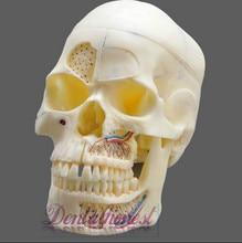 Dentalmall Dental Model #5004 02 – Detachable Pro Skull Model