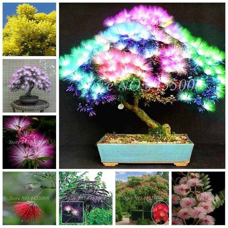 60 pcs / bag Japanese Acacia Bonsai Tree Albizia julibrissin Durazz Perennial Indoor & Outdoor Flowers Pot Plant for Home Garden