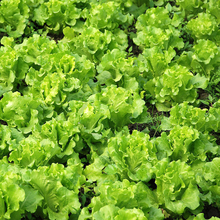 200 Lettuce Seeds good taste easy to grow great salad choice DIY Home vegetable
